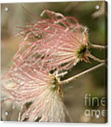 Whispering Pink Acrylic Print