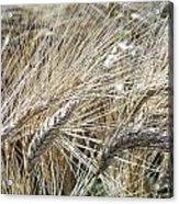 Whispering Wheat Acrylic Print