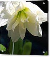 White Amarillys Acrylic Print
