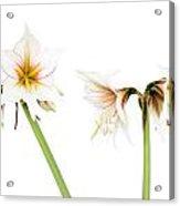 White Amaryllis Flower Acrylic Print