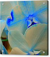 White And Blue Orchid Acrylic Print