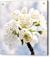 White And Bright - Beautiful Blossoms Acrylic Print