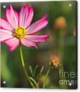 White And Magenta Cosmos Acrylic Print