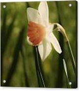 White And Orange Daffodil Acrylic Print