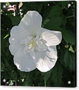 White And Pure Rose Of Sharon Acrylic Print