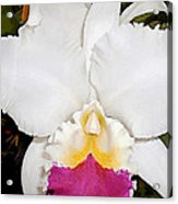 White And Purple Cattleya Orchid Acrylic Print
