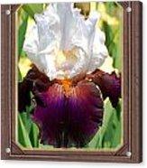 White And Purple Iris Acrylic Print