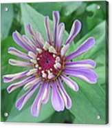 White And Purple Spiky Petals Acrylic Print
