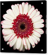 White And Red Gerbera Daisy Acrylic Print