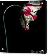 White And Red Parrot Tulip Acrylic Print