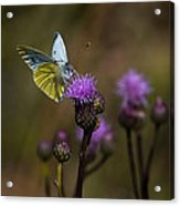 White And Yellow Butterfly On Thistl Acrylic Print