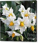 Garden Blossoms White And Yellow Garden Blossoms Acrylic Print