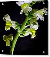 White And Yellow Snapdragons Acrylic Print