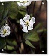 White Anemone Flowers Acrylic Print