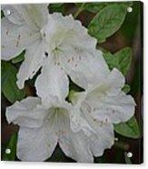 White Azalea 14-1 Acrylic Print