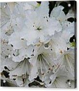 White Azaleas In Bermuda Acrylic Print