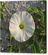 White Beach Flower Acrylic Print