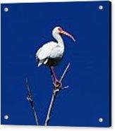 White Beauty Against Blue Acrylic Print
