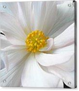 White Begonia Floral Acrylic Print