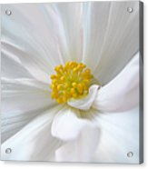 White Begonia Flower Macro Acrylic Print