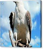 White-bellied Sea Eagle Acrylic Print