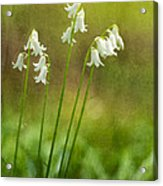 White Bells Acrylic Print