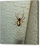 White Belly Spider Acrylic Print