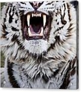 White Bengal Tiger At Forestry Farm Acrylic Print