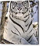 White Bengal Tiger, Forestry Farm Acrylic Print