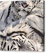 White Bengal Tigers, Forestry Farm Acrylic Print