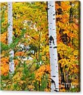 White Birch Autumn Acrylic Print