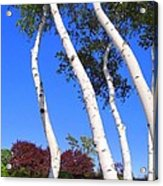 White Birch Blue Sky Acrylic Print
