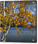 White Birch Tree In Autumn Along The Shore Of Crystal Lake Acrylic Print