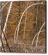 White Birch Trees In The Brown And Orange Forest Acrylic Print