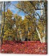 White Birches Of Fall Acrylic Print