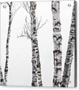 White Birches Acrylic Print