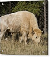 White Bison Symbol Of Hope And Renewal Acrylic Print