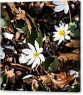 White Bloodroot Acrylic Print