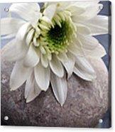 White Blossom On Rocks Acrylic Print