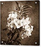 White Blossoms - Sepia Acrylic Print