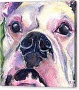White Boxer Acrylic Print