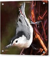 White-breasted Nuthatch - Classic Pose Acrylic Print