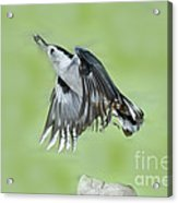 White-breasted Nuthatch Flying With Food Acrylic Print