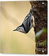 White-breasted Nuthatch Pictures 46 Acrylic Print