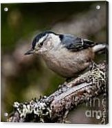 White-breasted Nuthatch Pictures 47 Acrylic Print