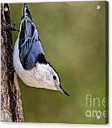 White-breasted Nuthatch Pictures 52 Acrylic Print