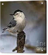 White-breasted Nuthatch Pictures 60 Acrylic Print