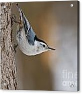 White-breasted Nuthatch Pictures 88 Acrylic Print