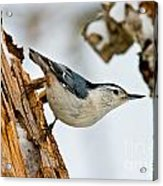 White-breasted Nuthatch Pictures 97 Acrylic Print