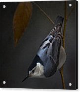 White Breasted Nuthatch Acrylic Print